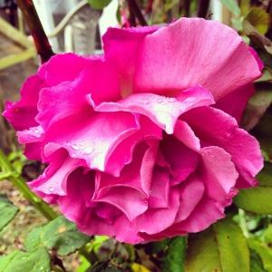 Lovely rose on the plot