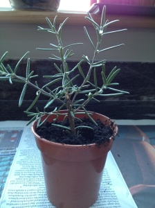 Rosemary ready to grow