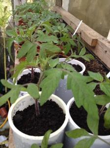 Tomato Forrest