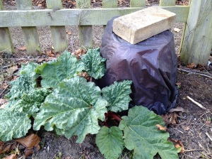 Unforced and forced rhubarb plant
