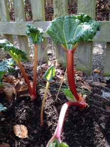 Lovely long sticks of rhubarb
