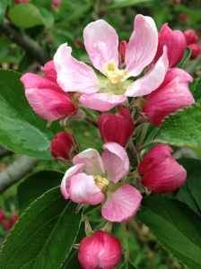 Pink Apple blossom opening up on the fruit bearing trees