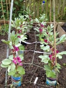 Blooming broad beans
