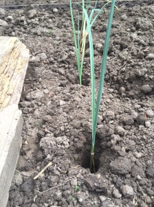 Leeks ready for puddling in