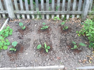 Courgettes planted