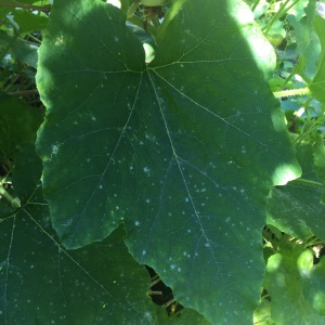 Early signs of powdery mildew