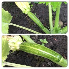 The first courgette